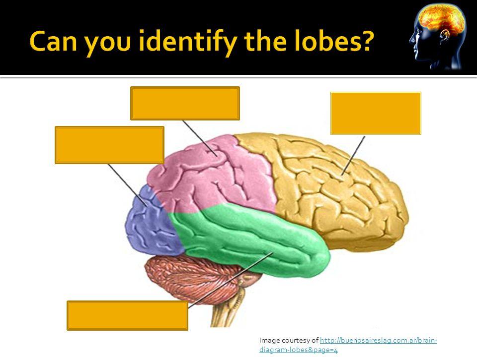 Image courtesy of http://buenosaireslag.com.ar/brain- diagram-lobes&page=4http://buenosaireslag.com.ar/brain- diagram-lobes&page=4
