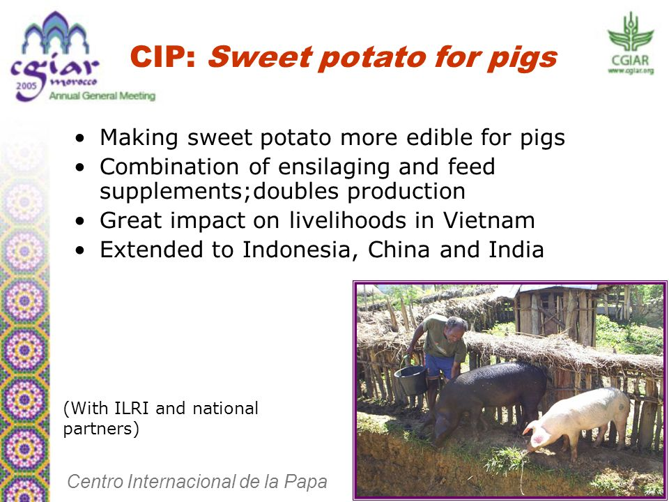 Making sweet potato more edible for pigs Combination of ensilaging and feed supplements;doubles production Great impact on livelihoods in Vietnam Extended to Indonesia, China and India CIP: Sweet potato for pigs Centro Internacional de la Papa (With ILRI and national partners)