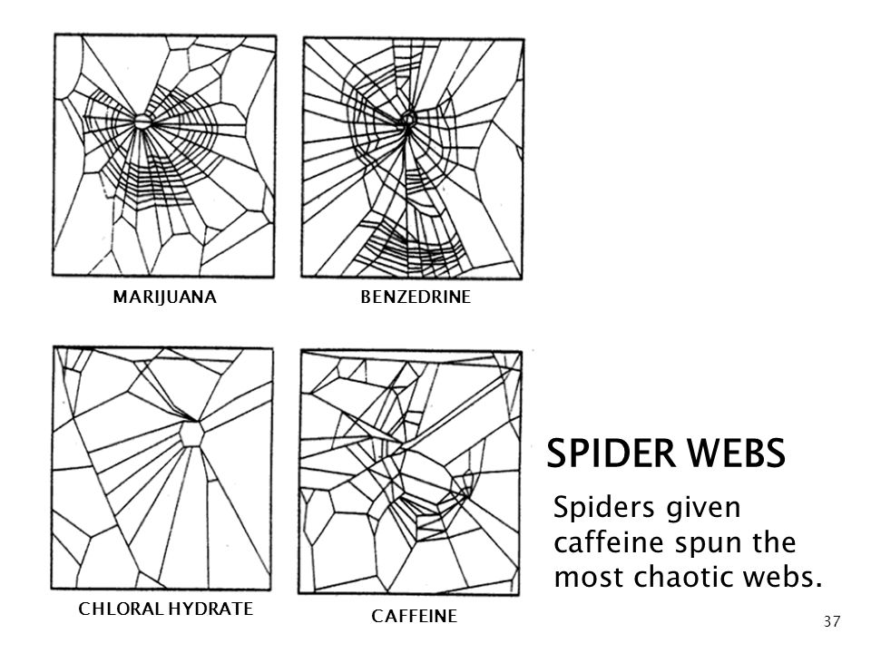 37 Spiders given caffeine spun the most chaotic webs.