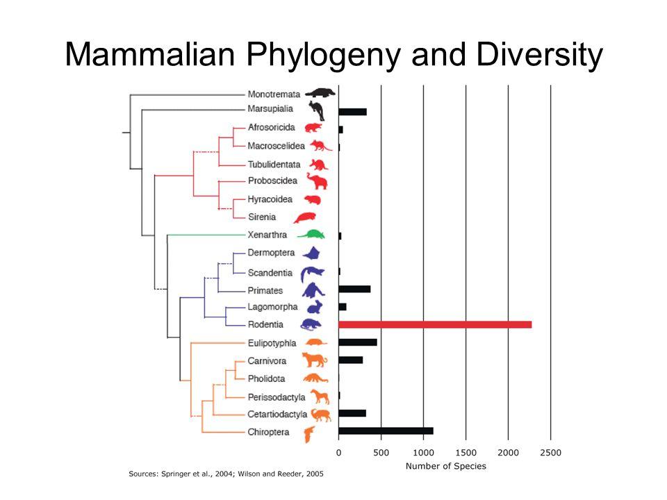 Rodentia Sub-orders (Mammal Species of the World, 3rd ed., 2005) Sub-orderMasseteric conditionMandibular condition Number of families / species Sciuromorpha protogomorphous (Aplodontidae), sciuromorphous (Sciuridae), pseudo-myomorphous (Gliridae) sciurognathous3 / 307 Castorimorphasciuromorphoussciurognathous3 / 102 Myomorphamyomorphoussciurognathous7 / 1569 Anomaluromorphahystricomorphoussciurognathous2 / 9 Hystricomorphahystricomorphous sciurognathous (only Ctenodactylidae) hystricognathous (rest) 18 / 290