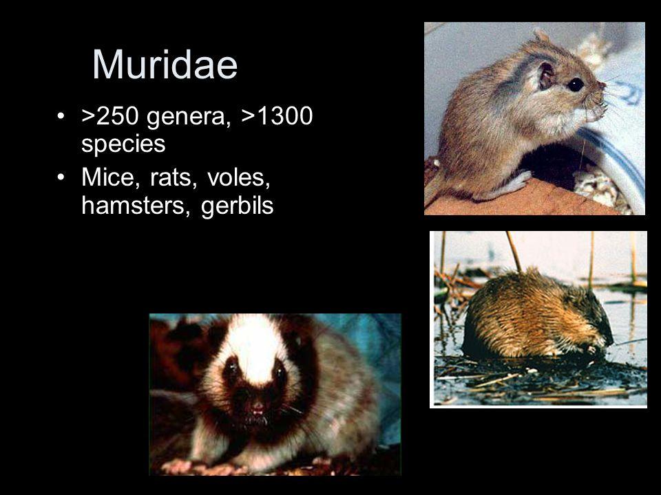 Muridae >250 genera, >1300 species Mice, rats, voles, hamsters, gerbils