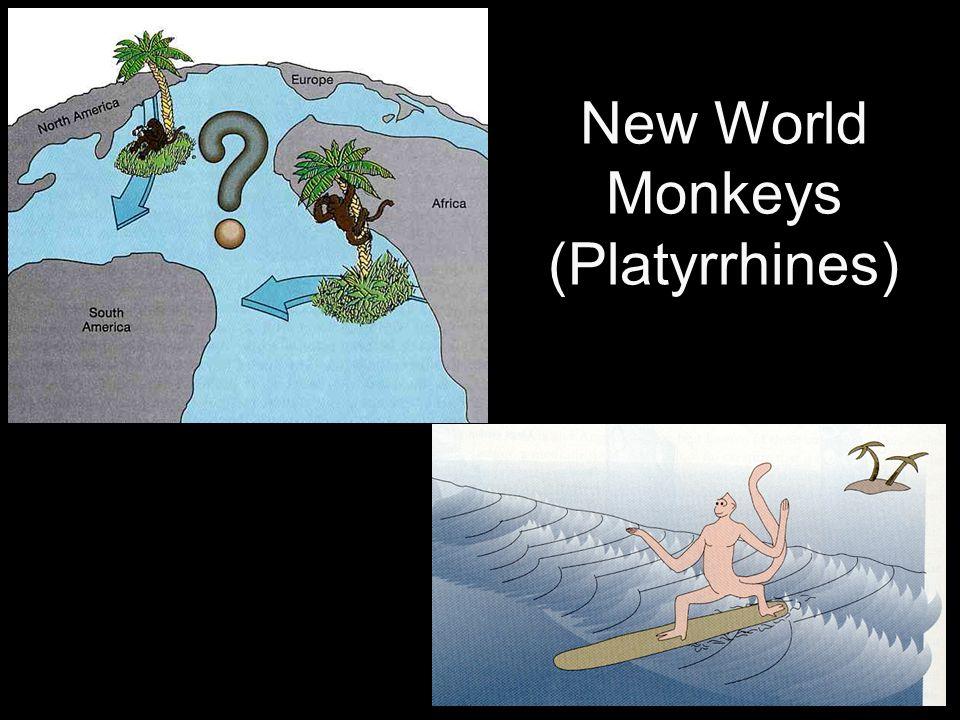 New World Monkeys (Platyrrhines)