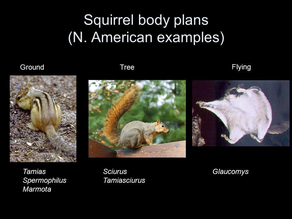 GroundTree Flying Tamias Spermophilus Marmota Sciurus Tamiasciurus Glaucomys Squirrel body plans (N. American examples)