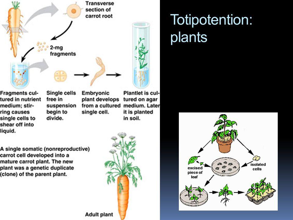 Totipotention: plants