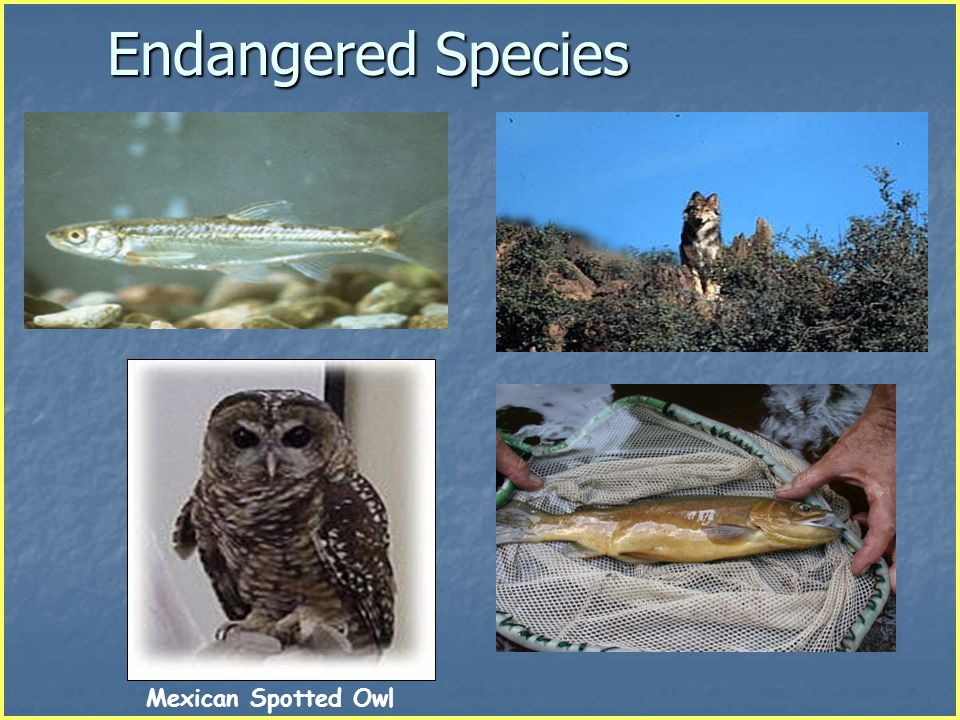 Endangered Species Spikedace Mexican Wolf Gila Trout Mexican Spotted Owl
