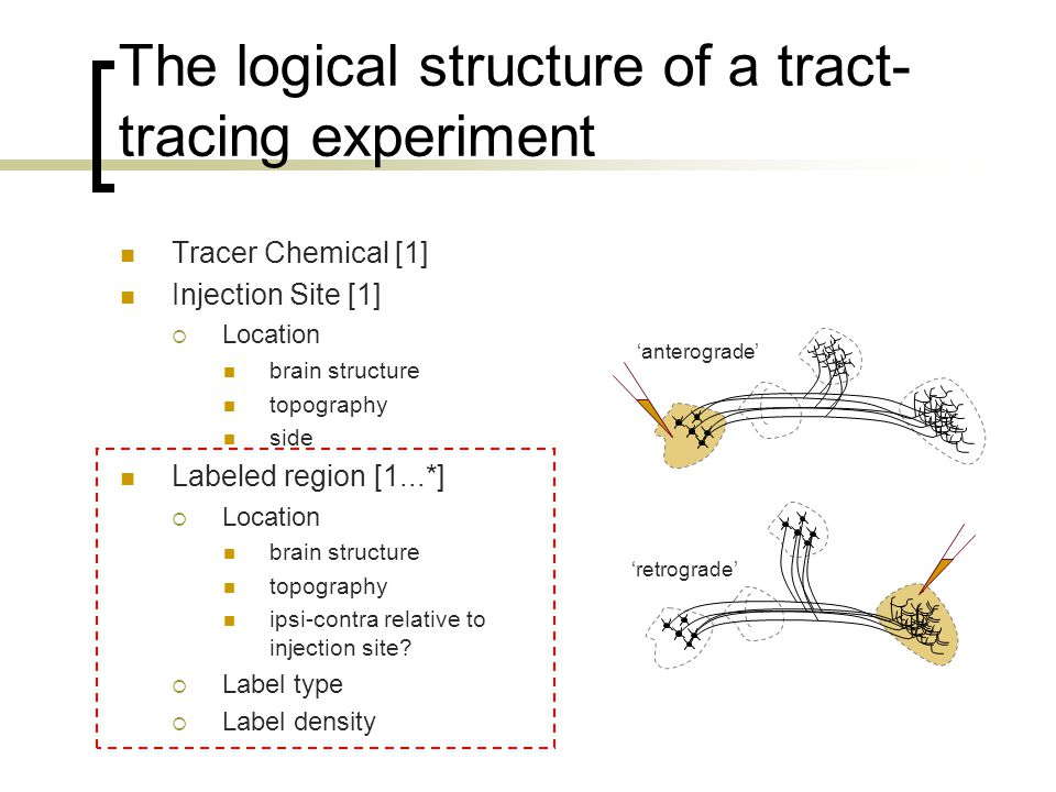 The logical structure of a tract- tracing experiment Tracer Chemical [1] Injection Site [1]  Location brain structure topography side Labeled region [1...*]  Location brain structure topography ipsi-contra relative to injection site.