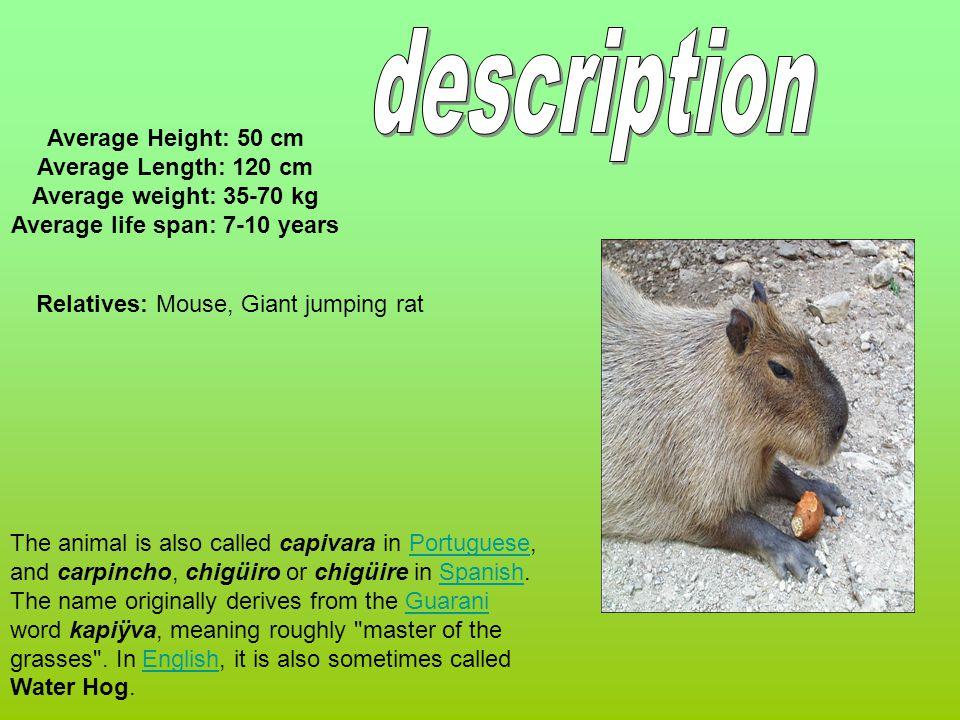 The animal is also called capivara in Portuguese, and carpincho, chigüiro or chigüire in Spanish.