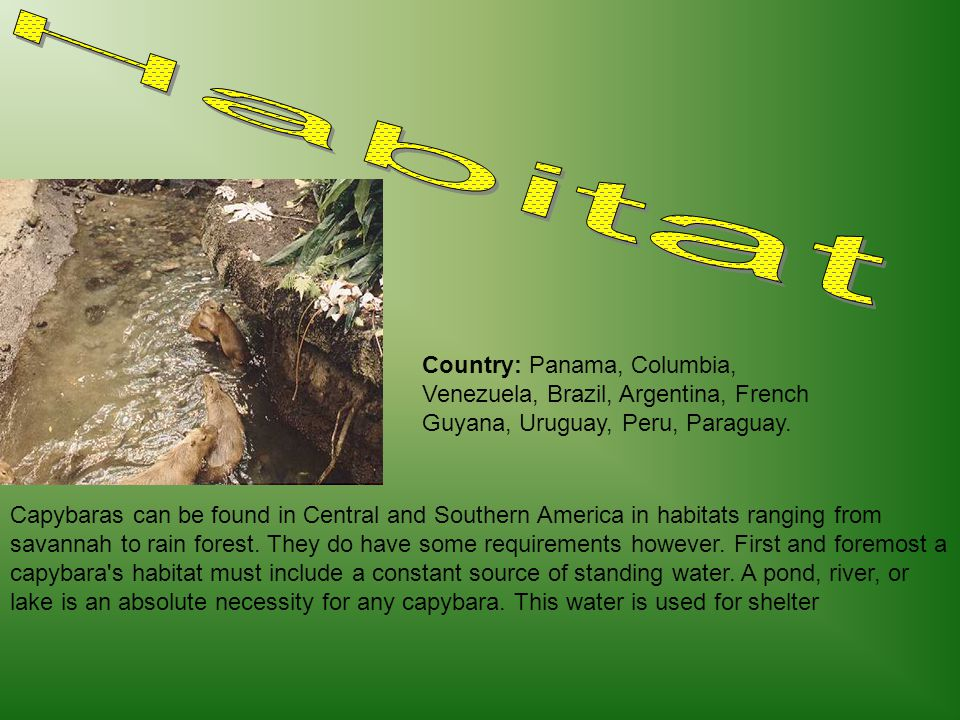 Capybaras can be found in Central and Southern America in habitats ranging from savannah to rain forest. They do have some requirements however. First