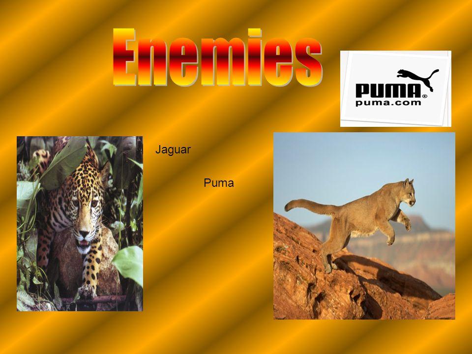 Jaguar Puma