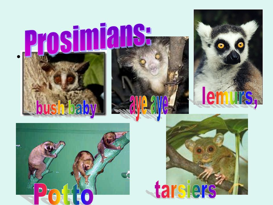 Modern Primates : divided into 2 groups 1.Prosimians: lemurs, lorries, pottos, tarsiers, bush baby, aye aye 2.Anthropoids: monkeys, apes, humans, had