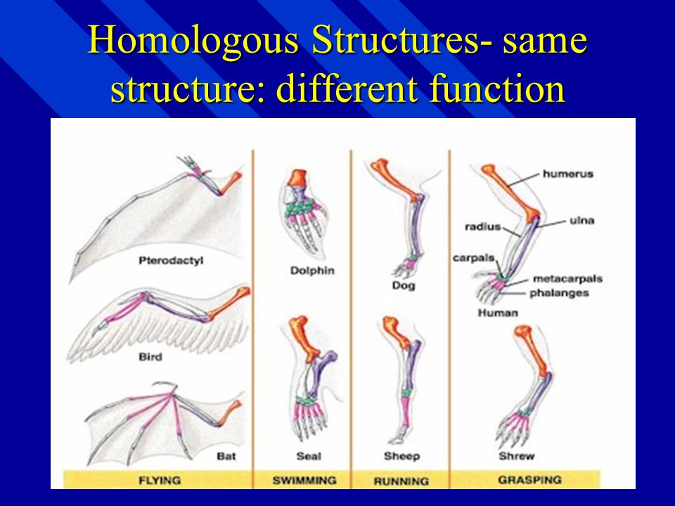Homologous Structures- parts of different organisms that have similar structure, but different forms and functions parts of different organisms that h