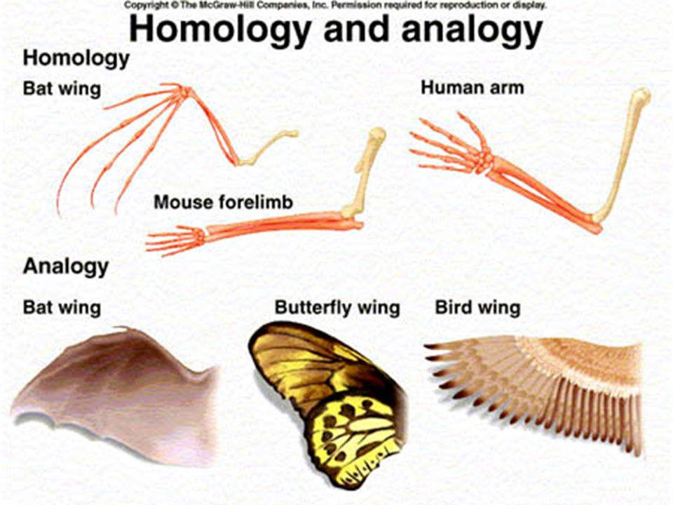analogous structures- parts of different organisms that have similar forms and functions, but different internal structure (example: wing of a bird, w