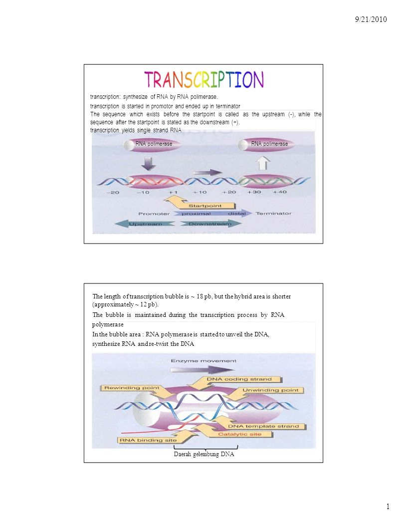9/21/2010 12 Pre-tRNA tRNA is formed by only one operon (groups of genes which is squeezed by only one promotor-terminator sequence), therefore the transcription will generate a long RNA which consist of lots of tRNA.