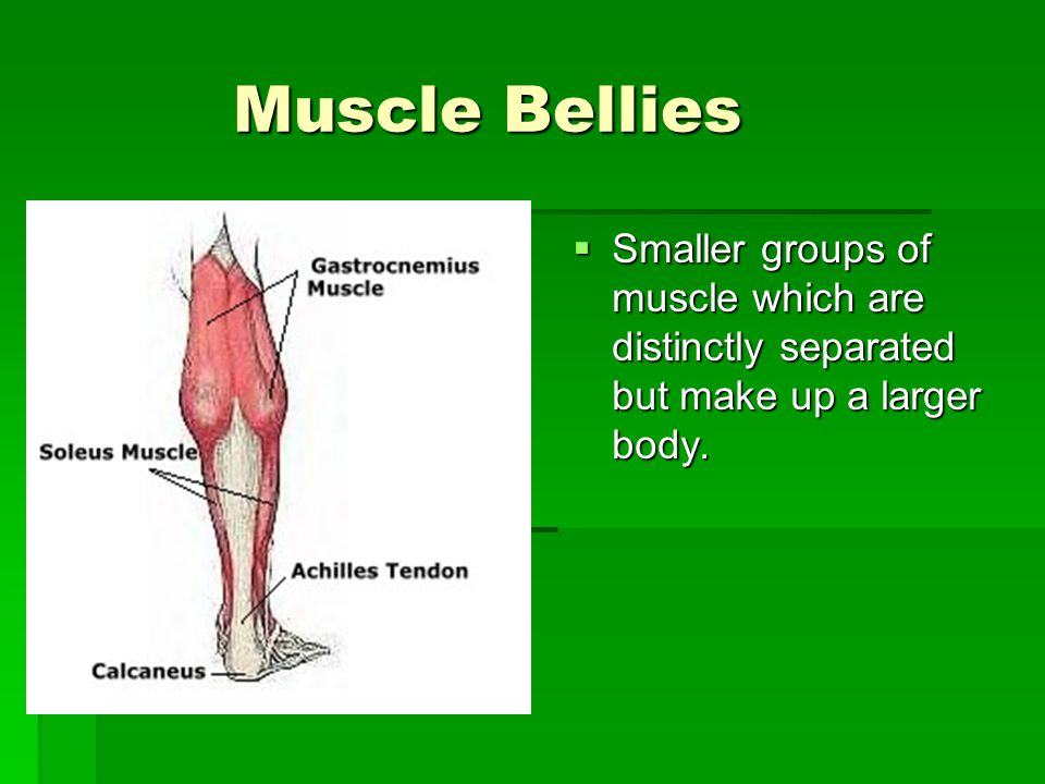 Muscle Bellies Muscle Bellies  Smaller groups of muscle which are distinctly separated but make up a larger body.