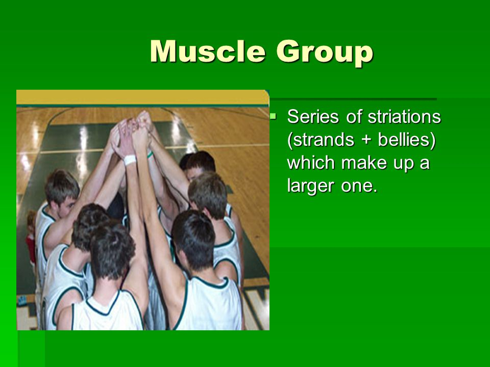 Muscle Group Muscle Group  Series of striations (strands + bellies) which make up a larger one.