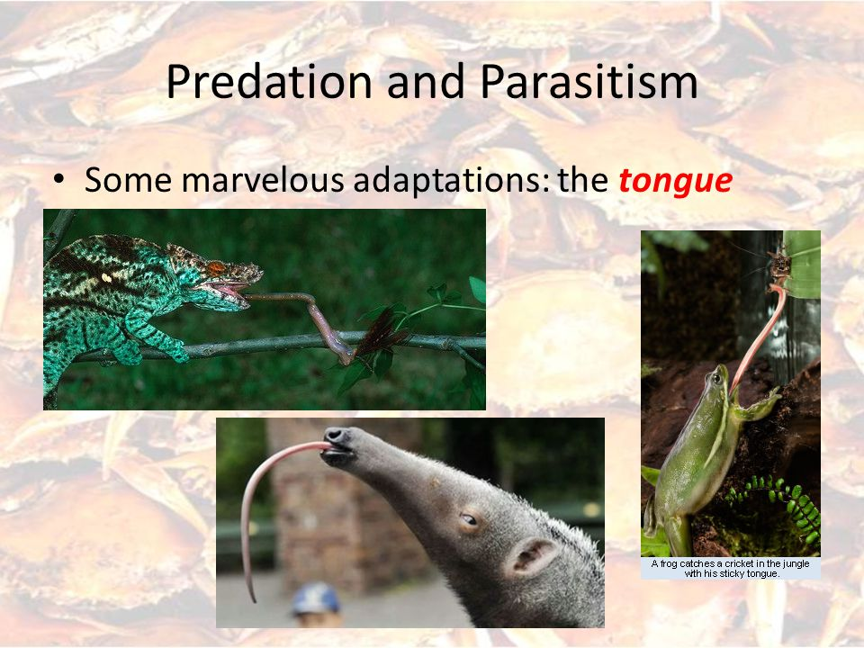 Predation and Parasitism Hypothetical relationship between prey and predator Exact shape not important, but concept of increasing/ decreasing areas is important