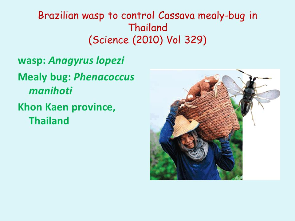 Brazilian wasp to control Cassava mealy-bug in Thailand (Science (2010) Vol 329) wasp: Anagyrus lopezi Mealy bug: Phenacoccus manihoti Khon Kaen provi