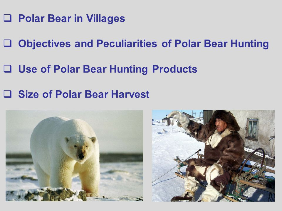  Polar Bear in Villages  Objectives and Peculiarities of Polar Bear Hunting  Use of Polar Bear Hunting Products  Size of Polar Bear Harvest