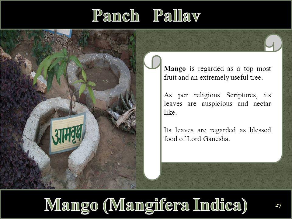 Mango is regarded as a top most fruit and an extremely useful tree. As per religious Scriptures, its leaves are auspicious and nectar like. Its leaves