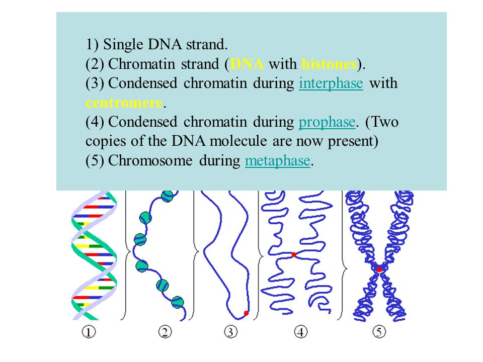 1) Single DNA strand. (2) Chromatin strand (DNA with histones).