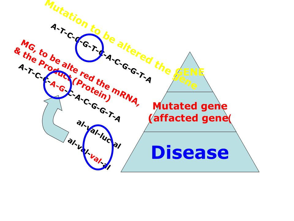 GENE Mutated gene (affacted gene) Disease Mutation to be altered the gene MG, to be alte red the mRNA, & the Product (Protein) A-T-C-C-G-T-C-A-C-G-G-T-A A-T-C-C-A-G-C-A-C-G-G-T-A al-val-luc-al al-val-val-al