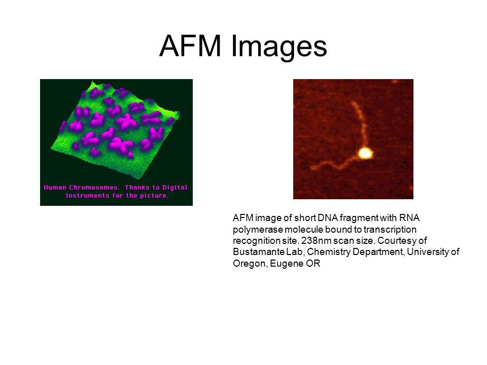 AFM Images AFM image of short DNA fragment with RNA polymerase molecule bound to transcription recognition site. 238nm scan size. Courtesy of Bustaman