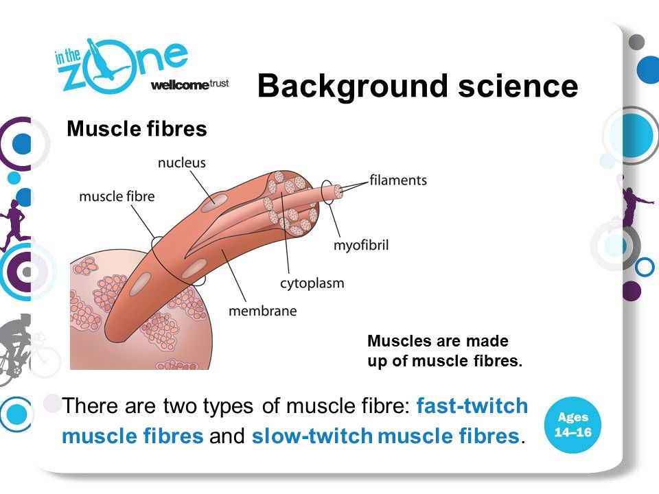 There are two types of muscle fibre: fast-twitch muscle fibres and slow-twitch muscle fibres. Muscle fibres Muscles are made up of muscle fibres.
