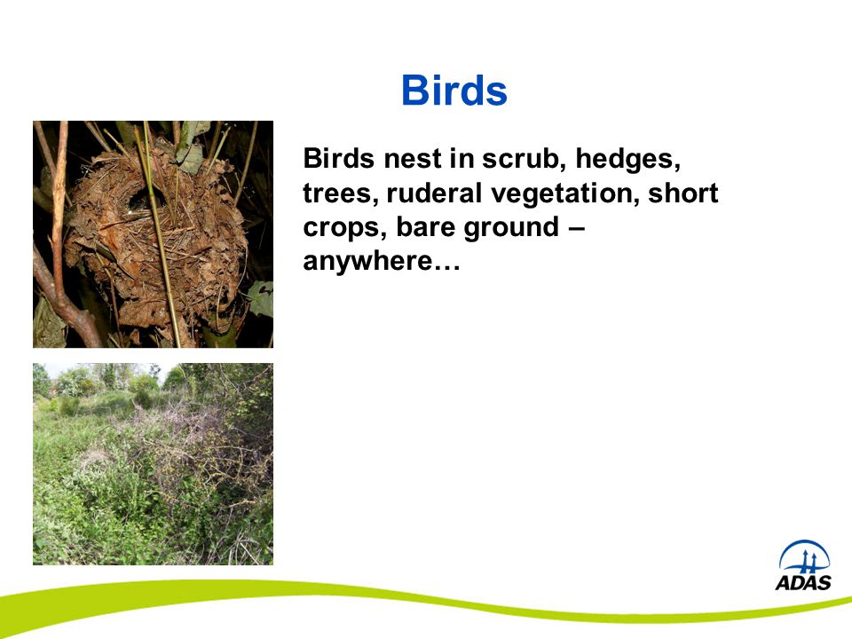 Birds nest in scrub, hedges, trees, ruderal vegetation, short crops, bare ground – anywhere…