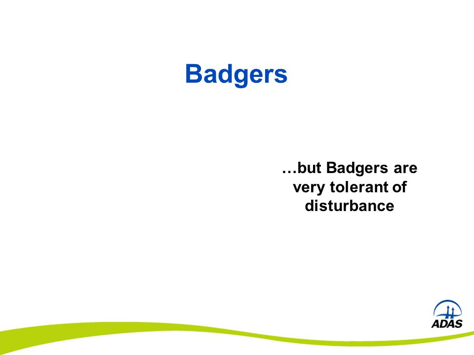 …but Badgers are very tolerant of disturbance Badgers