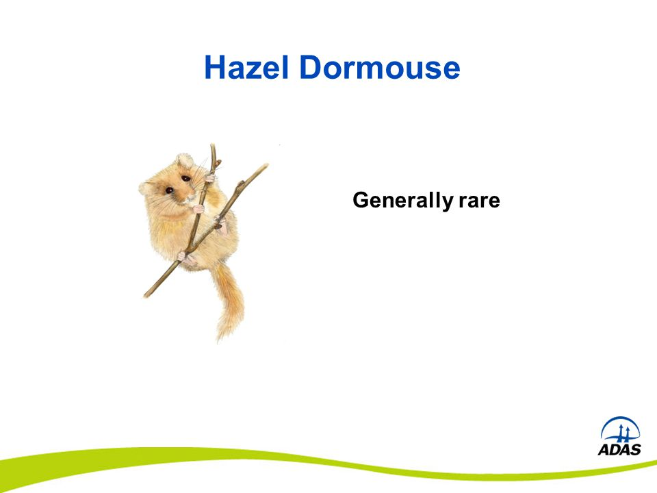 Hazel Dormouse Generally rare