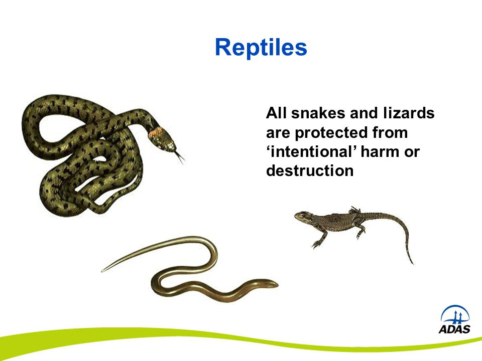 Reptiles All snakes and lizards are protected from 'intentional' harm or destruction