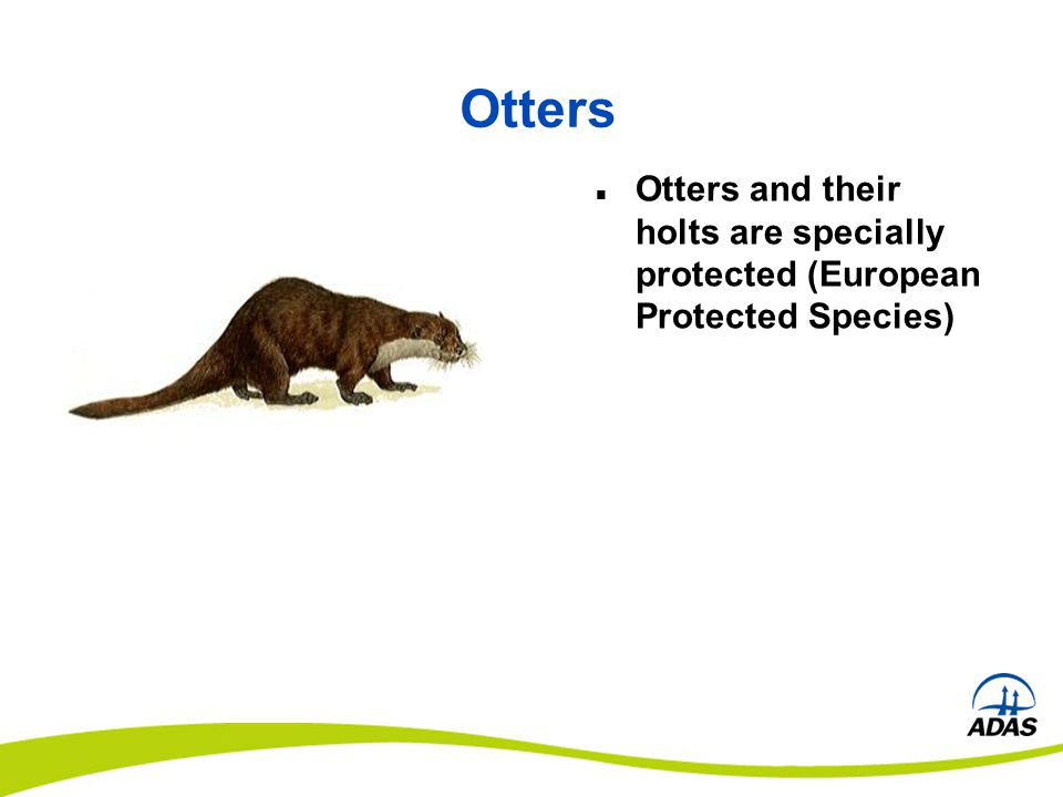 Otters Otters and their holts are specially protected (European Protected Species)