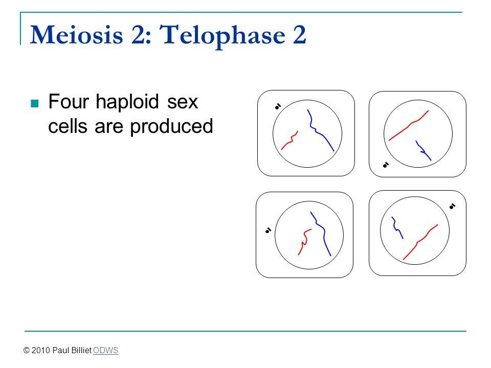 Meiosis 2: Telophase 2 Four haploid sex cells are produced © 2010 Paul Billiet ODWSODWS