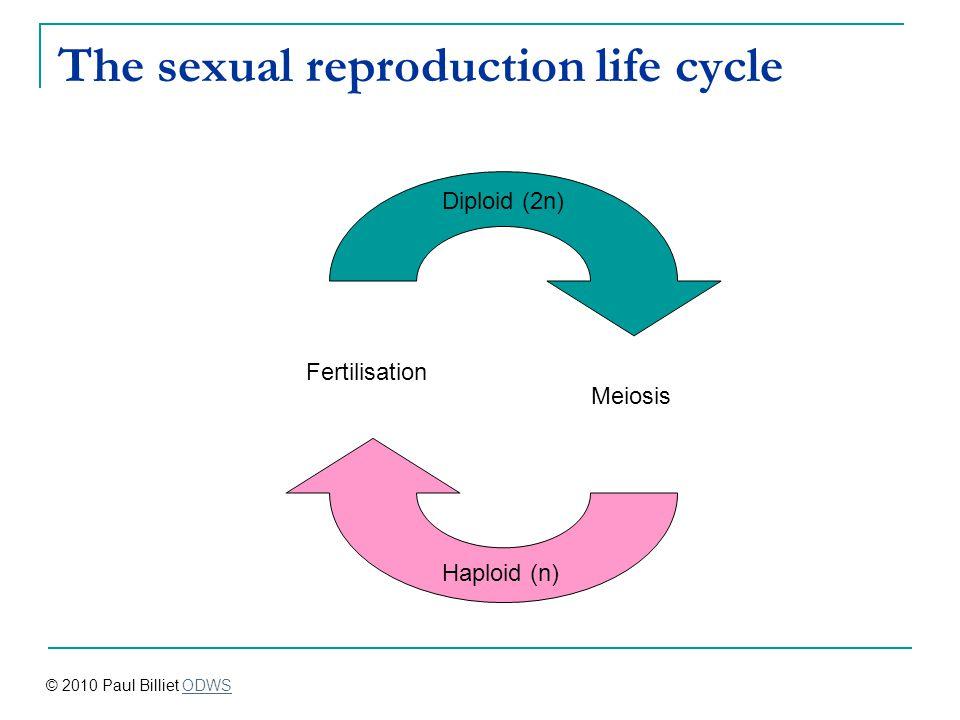The sexual reproduction life cycle Meiosis Fertilisation Haploid (n) Diploid (2n) © 2010 Paul Billiet ODWSODWS