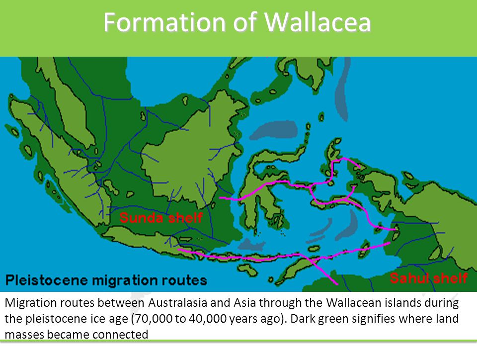 Formation of Wallacea Migration routes between Australasia and Asia through the Wallacean islands during the pleistocene ice age (70,000 to 40,000 years ago).