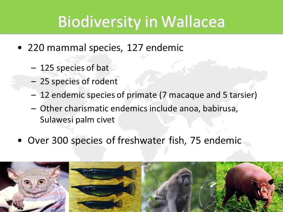 Biodiversity in Wallacea 220 mammal species, 127 endemic –125 species of bat –25 species of rodent –12 endemic species of primate (7 macaque and 5 tarsier) –Other charismatic endemics include anoa, babirusa, Sulawesi palm civet Over 300 species of freshwater fish, 75 endemic