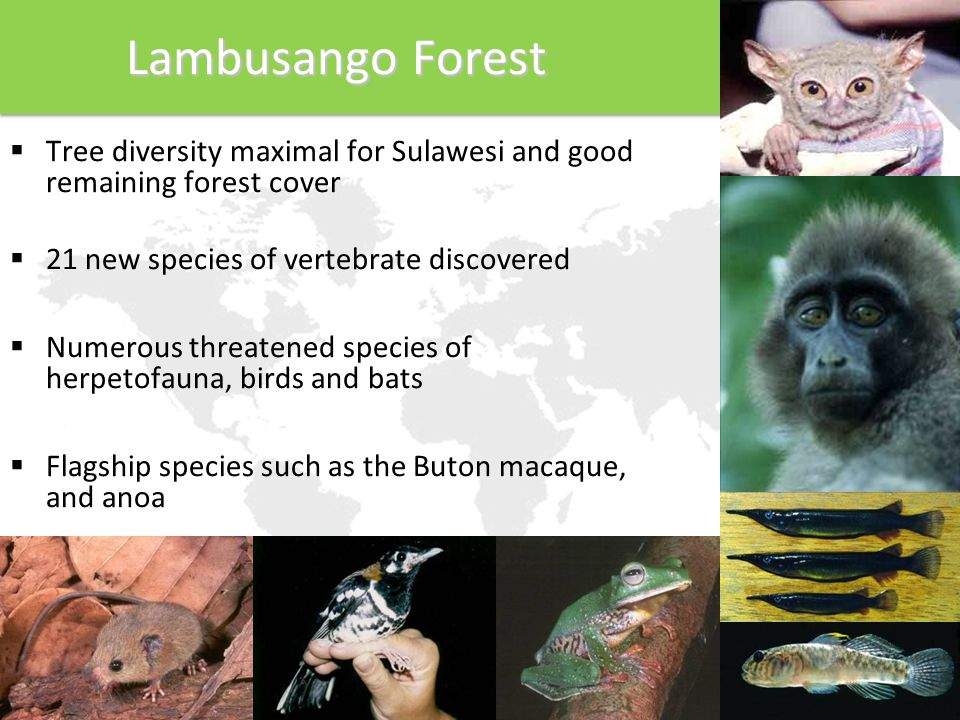 Lambusango Forest  Tree diversity maximal for Sulawesi and good remaining forest cover  21 new species of vertebrate discovered  Numerous threatened species of herpetofauna, birds and bats  Flagship species such as the Buton macaque, and anoa