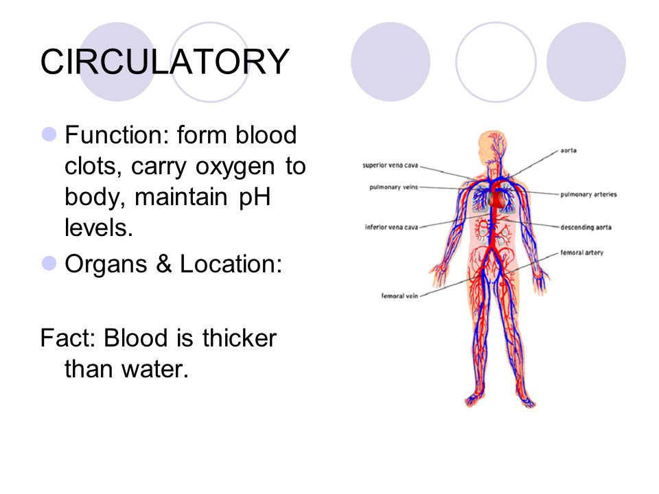 CIRCULATORY Function: form blood clots, carry oxygen to body, maintain pH levels.