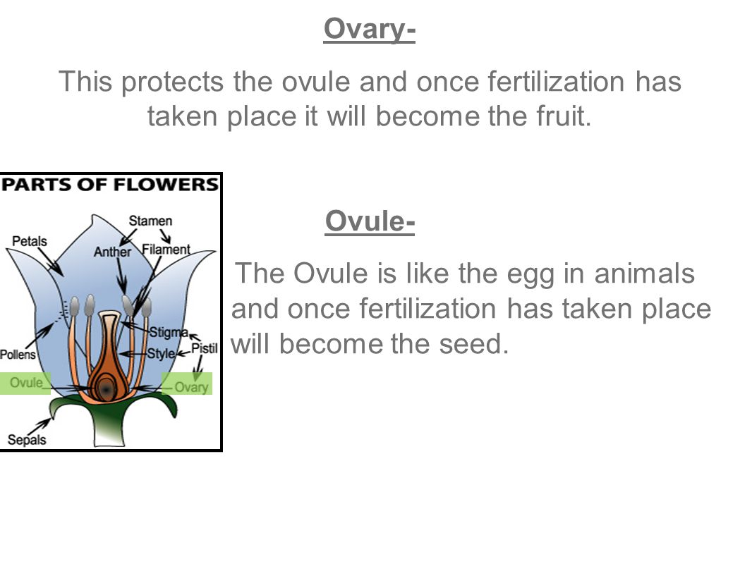Ovary- This protects the ovule and once fertilization has taken place it will become the fruit.