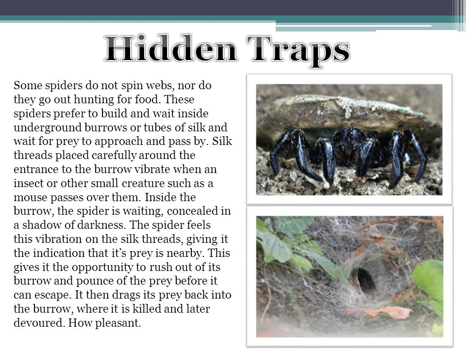 Some spiders do not spin webs, nor do they go out hunting for food. These spiders prefer to build and wait inside underground burrows or tubes of silk