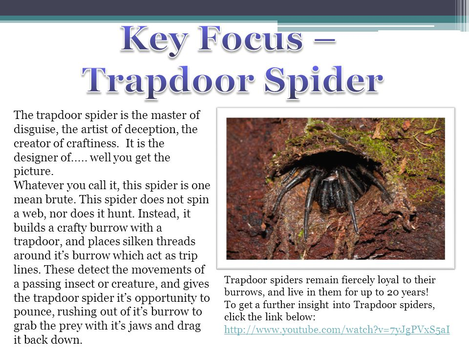 The trapdoor spider is the master of disguise, the artist of deception, the creator of craftiness. It is the designer of..... well you get the picture