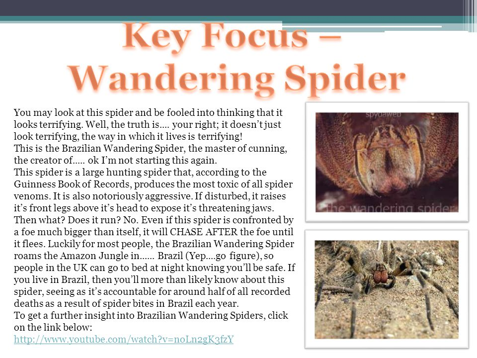 You may look at this spider and be fooled into thinking that it looks terrifying. Well, the truth is.... your right; it doesn't just look terrifying,