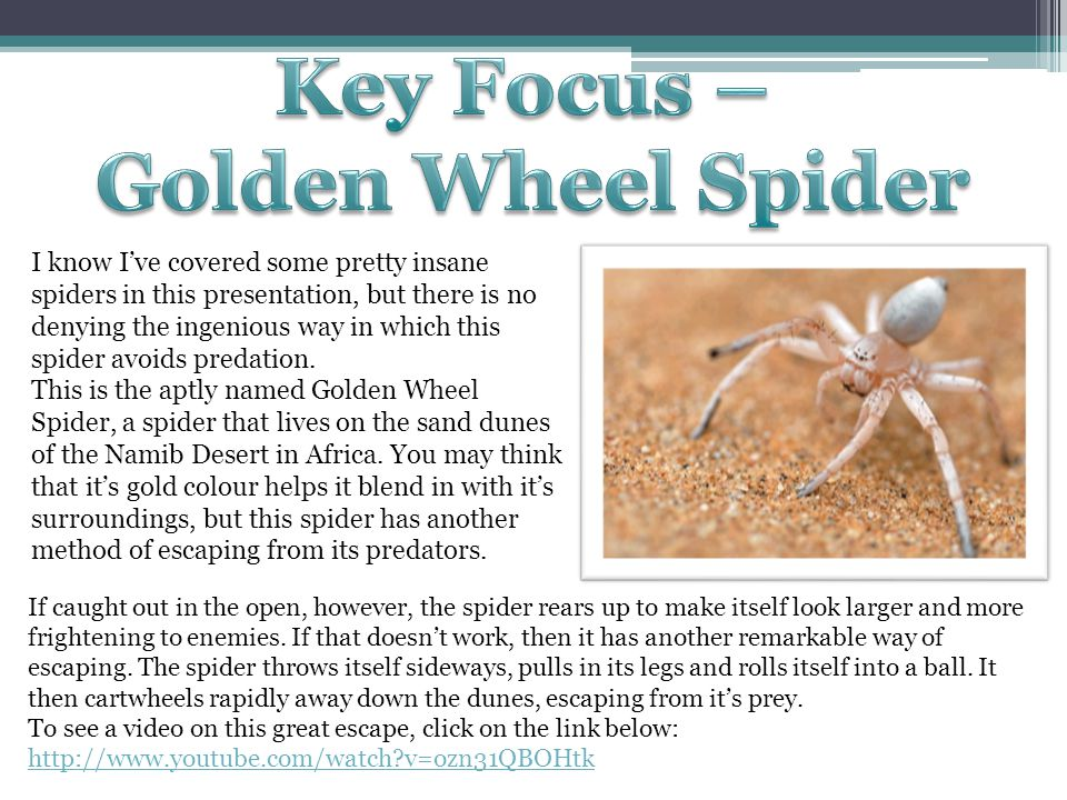 I know I've covered some pretty insane spiders in this presentation, but there is no denying the ingenious way in which this spider avoids predation.