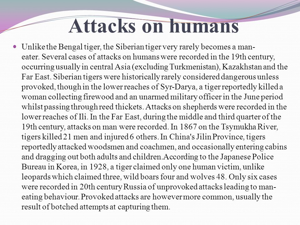 Attacks on humans Unlike the Bengal tiger, the Siberian tiger very rarely becomes a man- eater.