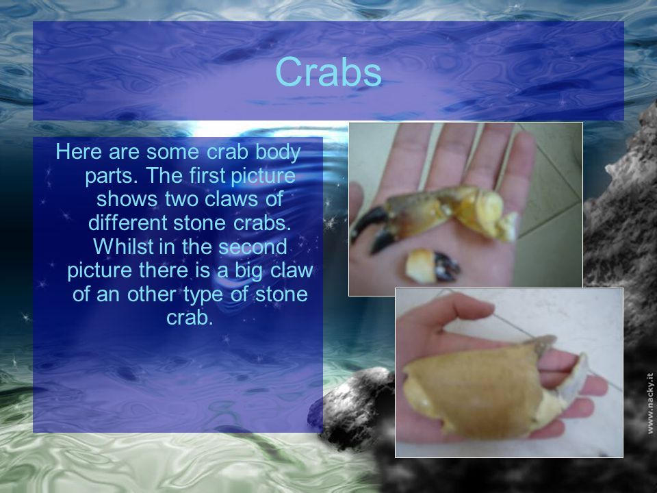 Crabs Here are some crab body parts. The first picture shows two claws of different stone crabs.