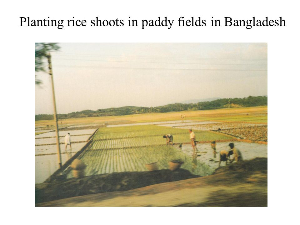 Planting rice shoots in paddy fields in Bangladesh