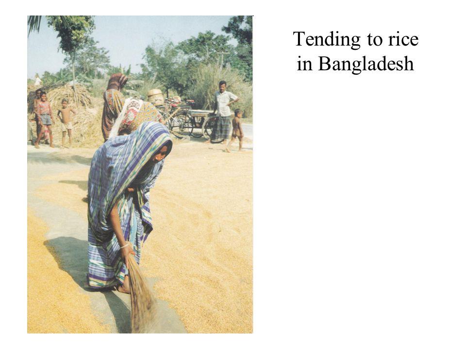 Tending to rice in Bangladesh