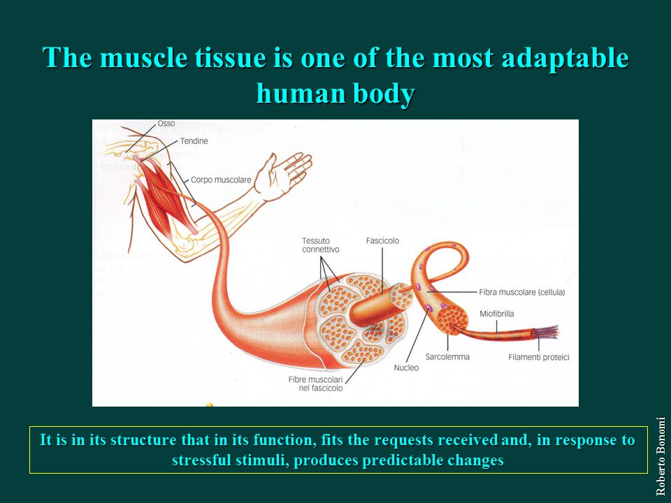 The muscle tissue is one of the most adaptable human body It is in its structure that in its function, fits the requests received and, in response to