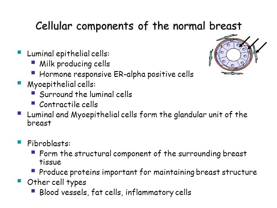 Cellular components of the normal breast  Luminal epithelial cells:  Milk producing cells  Hormone responsive ER-alpha positive cells  Myoepithelial cells:  Surround the luminal cells  Contractile cells  Luminal and Myoepithelial cells form the glandular unit of the breast  Fibroblasts:  Form the structural component of the surrounding breast tissue  Produce proteins important for maintaining breast structure  Other cell types  Blood vessels, fat cells, inflammatory cells