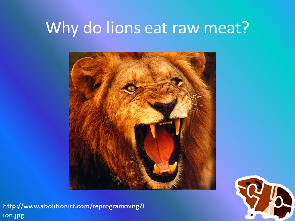 Why do lions eat raw meat? http://www.abolitionist.com/reprogramming/l ion.jpg